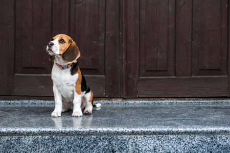 Beagle Personality, temperament. Beagle Puppy at home. Little Beagle breed dog near door his new house 免版税图像