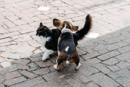 Beagles and Cats, household pets. Introducing Beagle puppy to cat. Little puppy Beagle breed running after the cat on backyard.