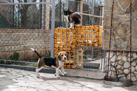 Beagles and Cats, household pets. Introducing Beagle puppy to cat. Little puppy Beagle breed running after the cat on backyard. 免版税图像 - 168508840