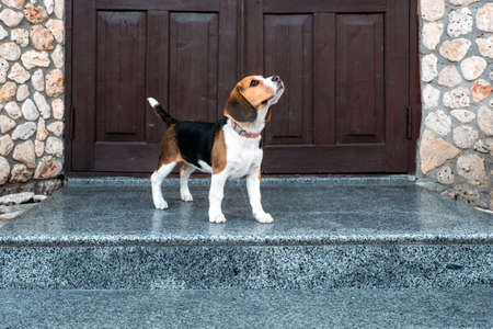Beagle Personality, temperament. Beagle Puppy at home. Little Beagle breed dog near door his new house.
