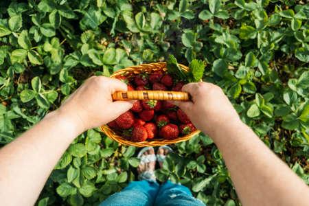Fresh ripe organic berries in basket. Stock Photo