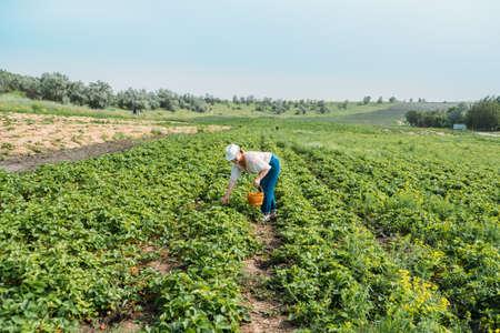 Picking fruits on strawberry field, Harvesting on strawberry farm. Woman farmer holding basket full of fresh strawberries. Woman picking berries on farm, strawberry crop, harvesting