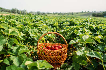 Picking fruits on strawberry field, Harvesting on strawberry farm. Straw basket full of fresh strawberries. Woman picking berries on farm, strawberry crop, harvesting.