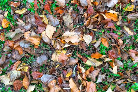 dead leaves: Hojas muertas en la hierba