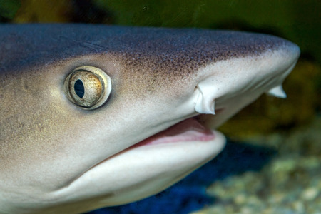 cartilaginous: Head of a shark in detail with dark background