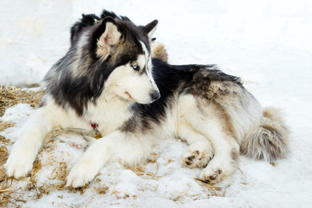 Siberian husky dogs relaxing on snow photo