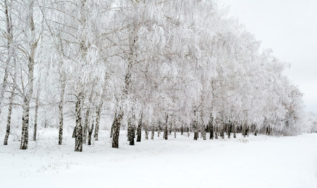 Pathway through the beautiful birch grove in winter