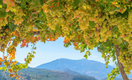 Fresh green and yellow grapes in a bush photo