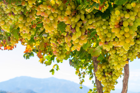 Fresh green and yellow grapes in a bush Stock Photo