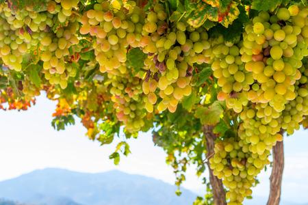 Fresh green and yellow grapes in a bush Zdjęcie Seryjne