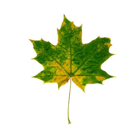 Colorful Autumn Maple leaf isolated on white background. Zdjęcie Seryjne