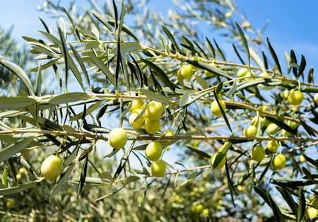 Green olives on the tree against blue sky. Selective focus.