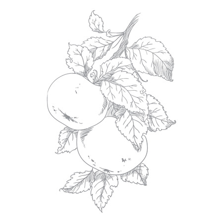 Apple on branch of the aple trees , vector Vector