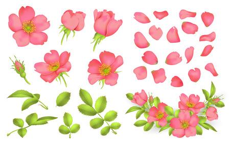Dog-rose blooms pink wild rose vector set Illustration