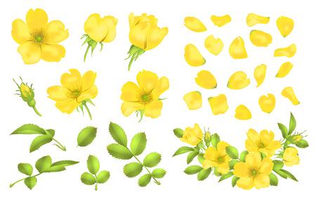 Dog-rose blooms. Wild rose vector set illustration.