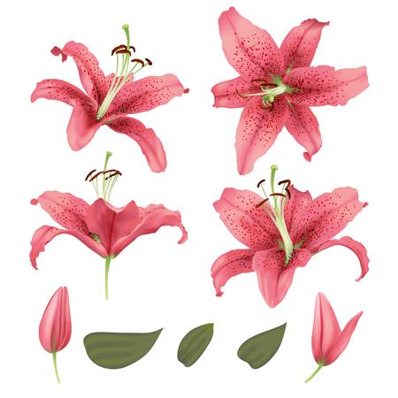 Realistic blossom lily flower set