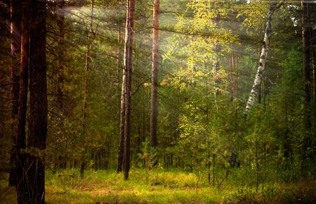 Magical autumn forest landscape. Sunrays in morning.