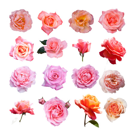 english famous: Rose collection, English roses from famous Regent park, London