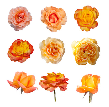 Rose collection, English roses from famous Regent park, London photo