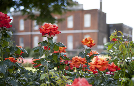 english rose: Rose garden and old English building on the back