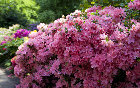 ornamental bush: Old English park in bloom, south of London