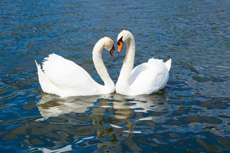 hyde: Swans in Hyde park lake