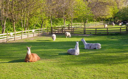docklands: Lamas, Docklands farm, London