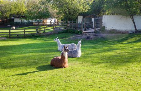 docklands: Lamas, Docklands farm, London
