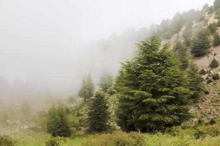 Misty cedar forest