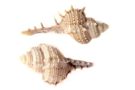 Two sea shells on white bachground.