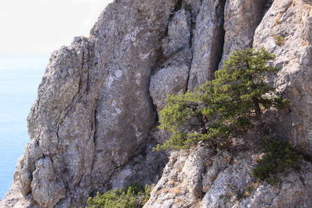 Pines on the rock above the sea Stock Photo - 16776449