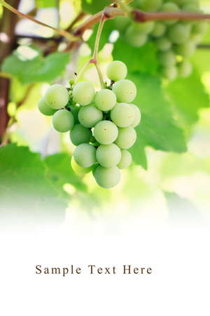 Bunch of green grapes on vine with copy space