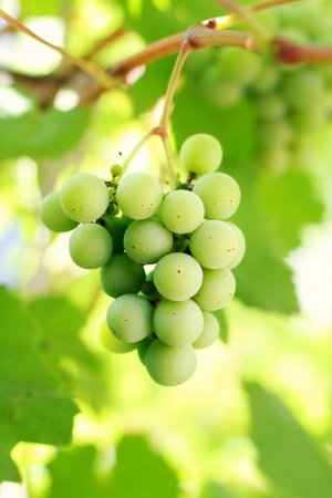 Bunch of green grapes on vine Stock Photo - 16775824