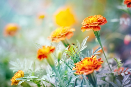 tagetes: Floral (Tagetes) background