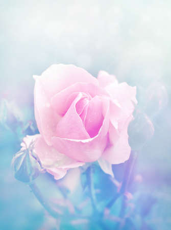 Beautiful rose in magic light Stock Photo - 17915276