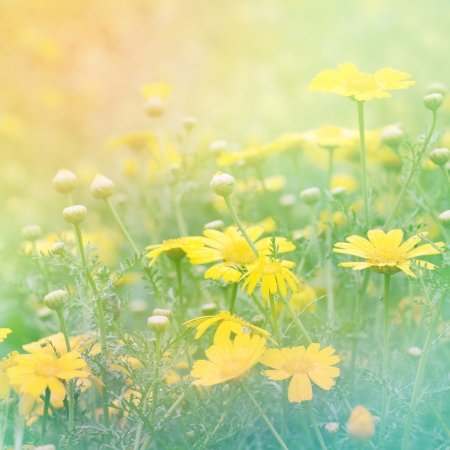 Chamomile romantic background photo