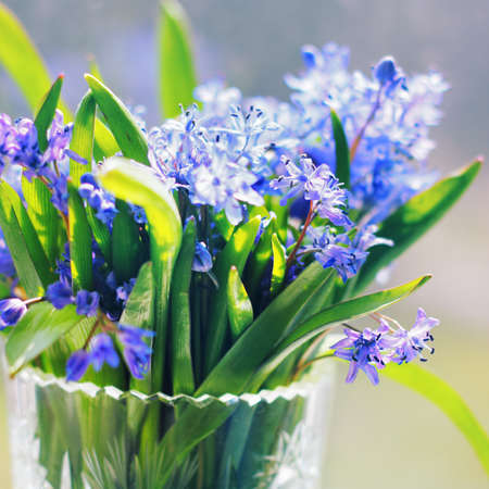 Scilla (Squill) blue flowers  Stock Photo