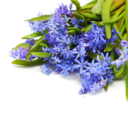 Scilla (Squill) blue flowers on white background