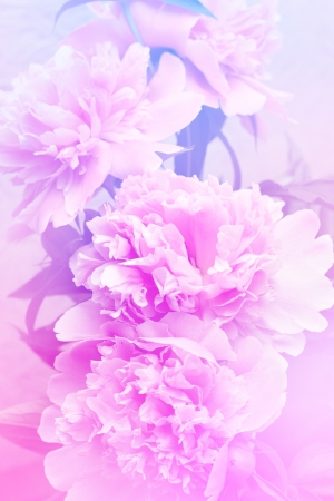 Floral peony background