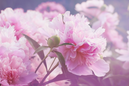Peony floral background Stock Photo
