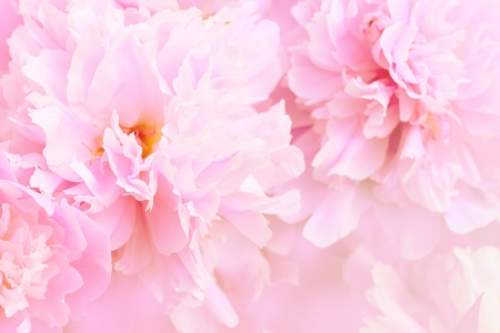 Peony flower background Standard-Bild