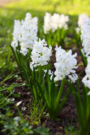 Blossoming hyacinth in the garden