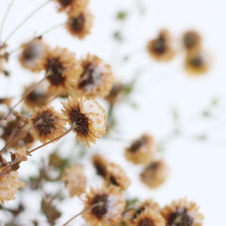 golden daisy: Dry chrysanthemum flower covered with first snow