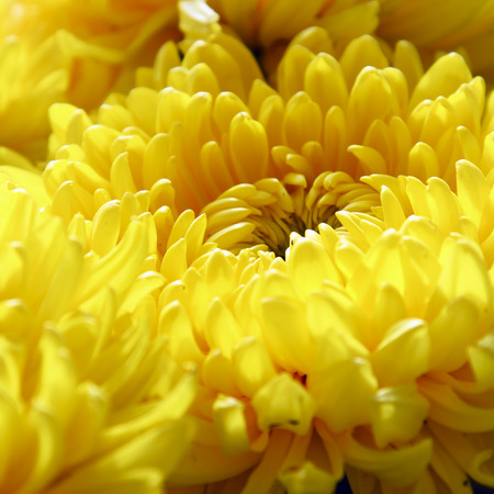 golden daisy: Yellow chrysanthemum flower
