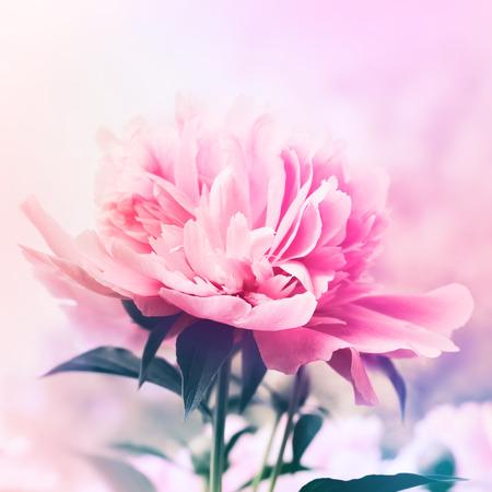 Peony floral background Standard-Bild