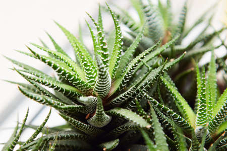 solvent: Aloe plant on the window