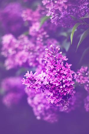 Schöne lila Blüten im Frühling Garten. Natur lila Farben. Tonungseffekt angewendet wurde.