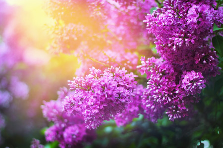 Lilac inflorescence in spring garden. Magnificent nature beauty.