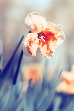 unfold: Orange narcissus blooming in spring. Color toning effect applied.