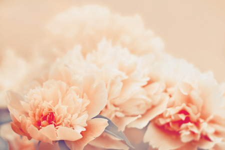 unfold: Peony flower background. Color toning applied.